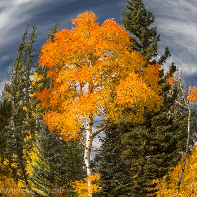 Fall colors have arrived by way of the Aspen Trees at Grand Canyon National Park and Kaibab National Forest, Arizona