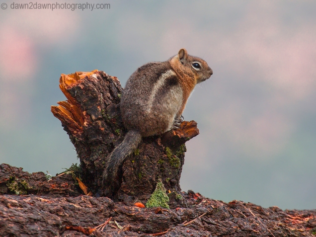 Chipmunk at Kaibab National Forest, Arizona