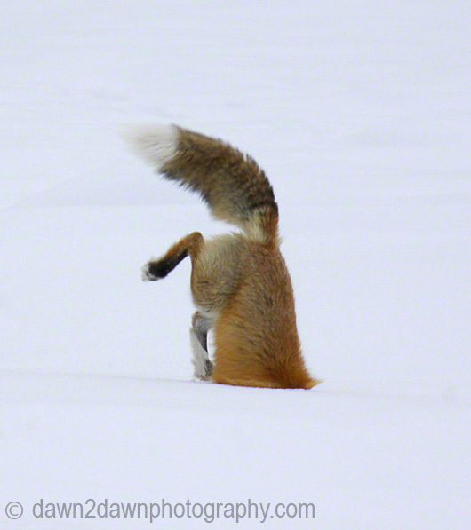 Red-Fox-B_1342