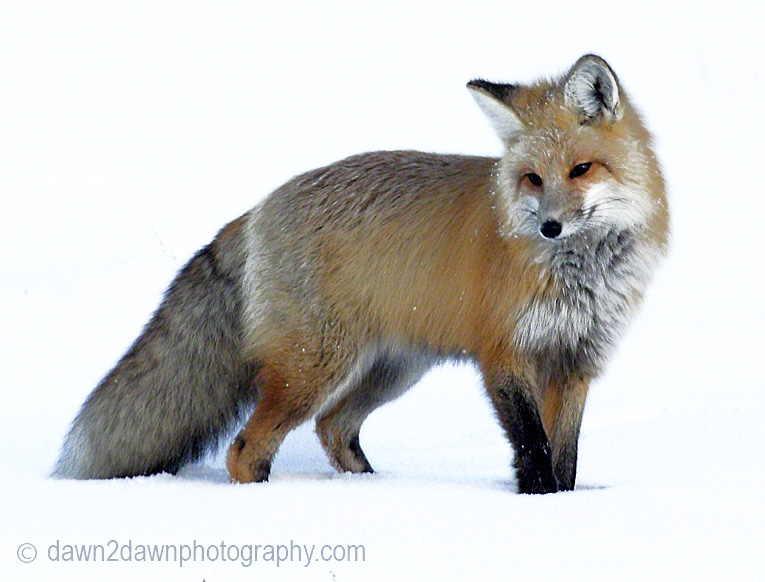 A red fox is on the prowl during winter at Yellowstone National Park's Hayden Valley,Wyoming