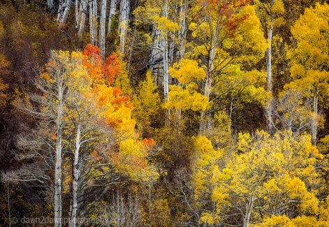 Fall colors have arrived to the Sierra Nevada Mountains adjacent to Owens Valley, California
