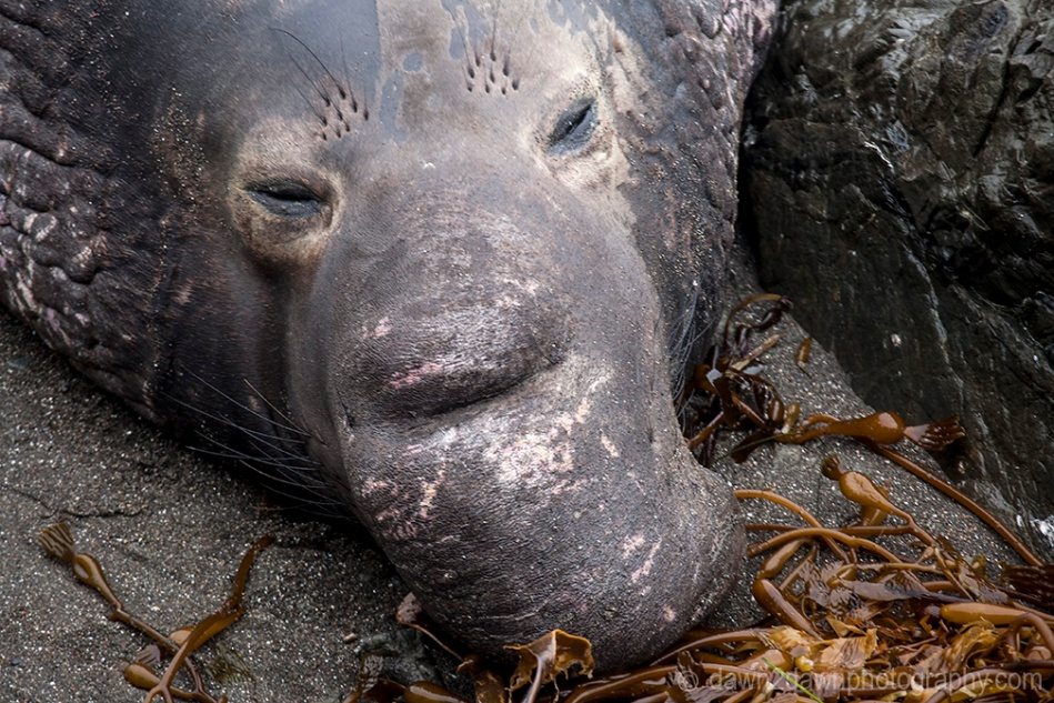 An elephant seal along California's Pacific Ocean Coast near San Simeon.