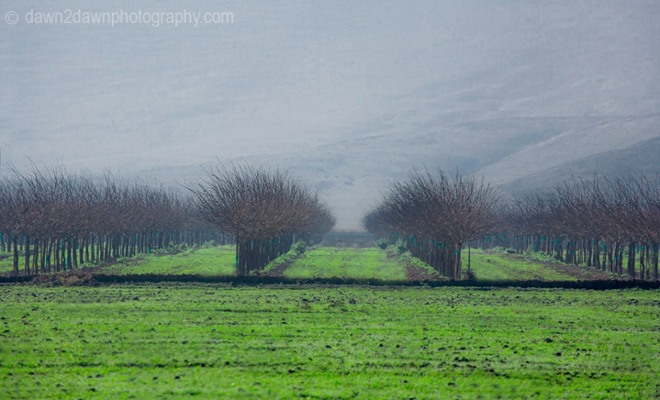 Almond Trees are surrounded by winter fog in California's San Joaquin Valley
