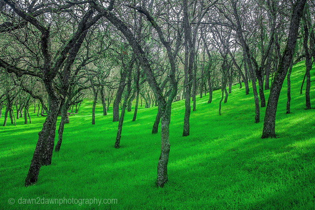 Oak trees in a California pasture