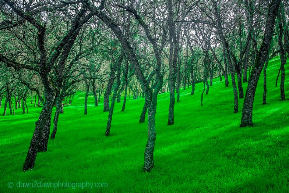 Oak trees in a California pasture