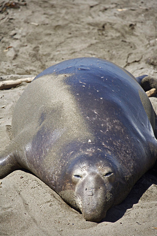 ENDANGERED NORTHERN ELEPHANT SEAL ON PACIFIC OCEAN, CALIFORNIA
