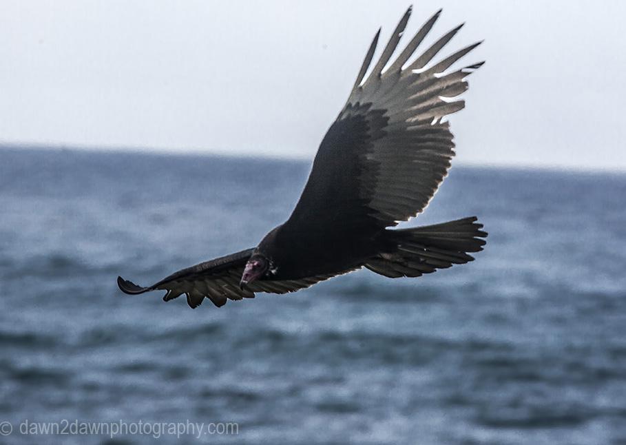 A turkey vulture flies along the Pacific Ocean Coastline near San Simeon, California