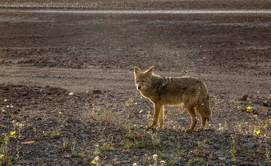 DV Coyote_7427