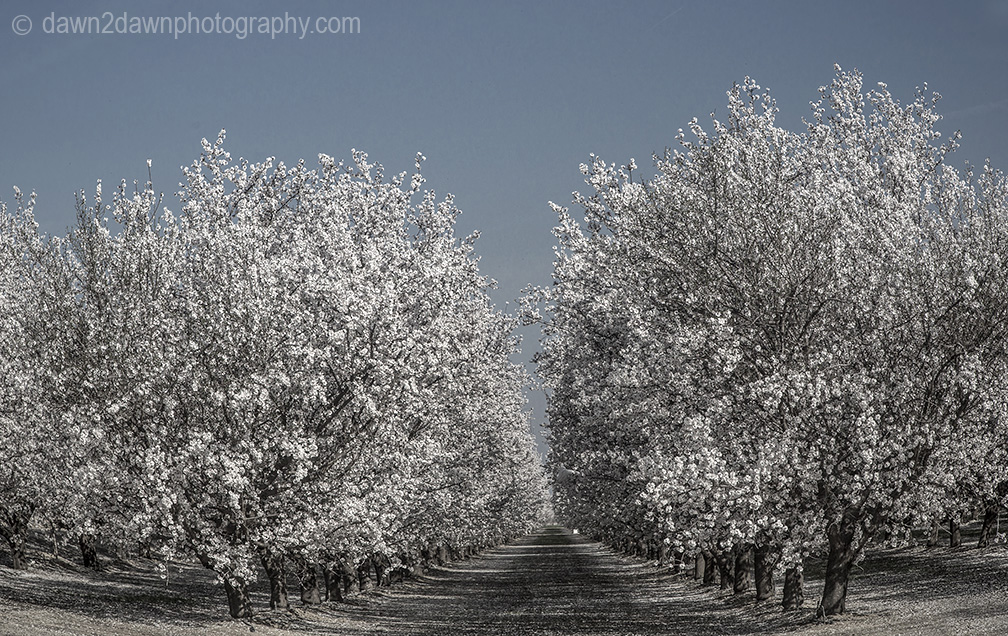 Almond trees are at full bloom in the San Joaquin Valley of California