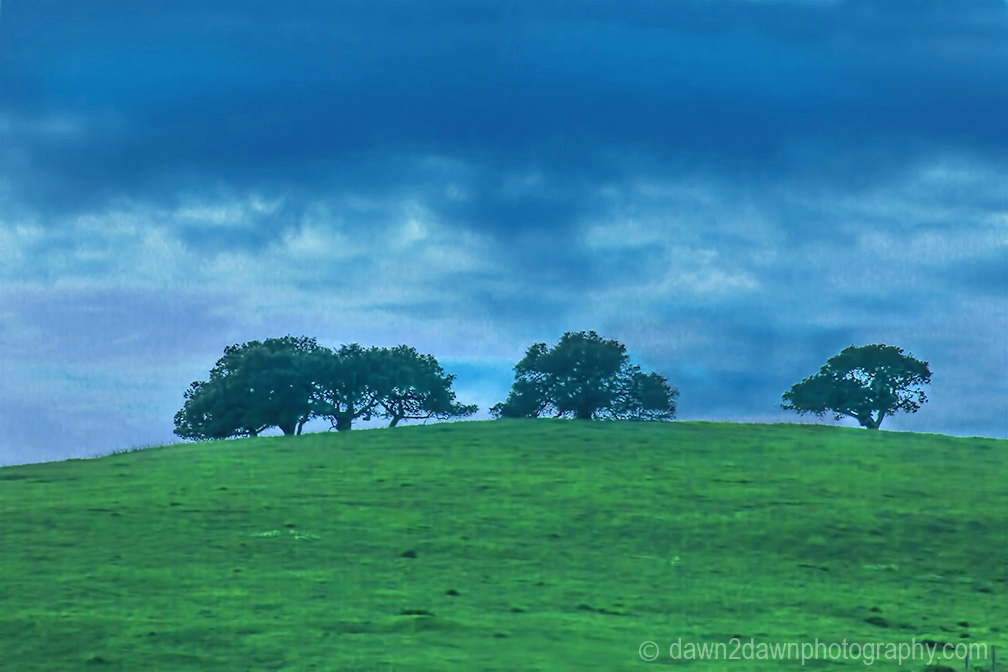 Oak Trees in a hilltop pasture overlook Carmel Valley, California