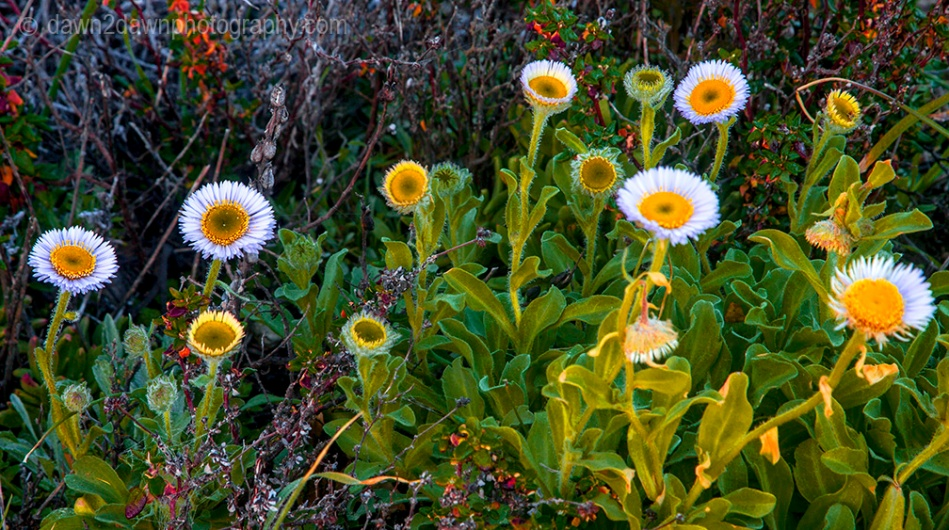 Seaside daises are at full bloom along California's Pacific Ocean Coastline near Big Sur.