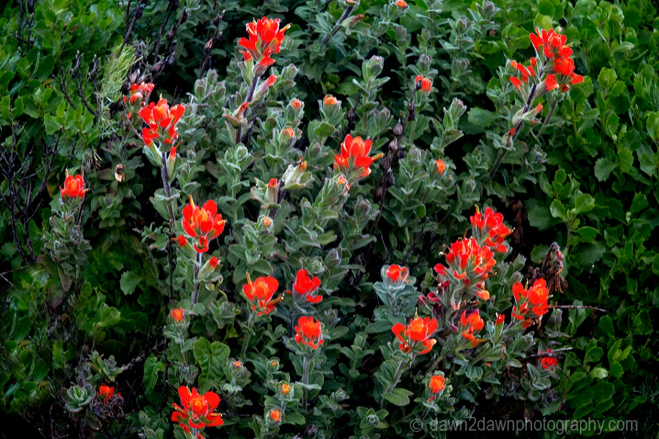 Paintbrush flowers along the Pacific Ocean at Point Lobos State Natural Reserve, Carmel, California