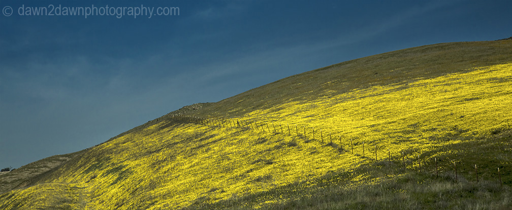 Wildflowers are in full bloom in a pasture in California