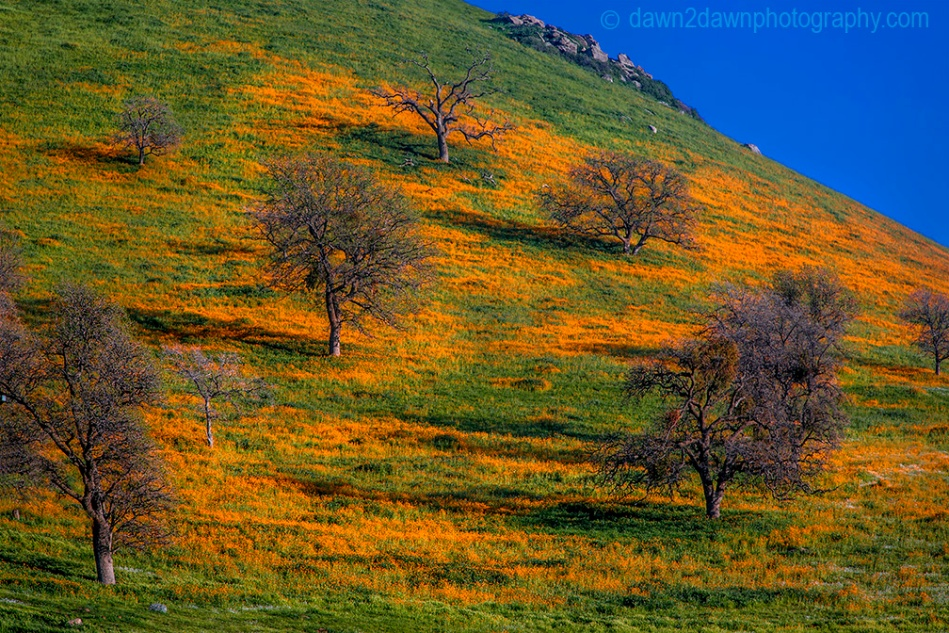 The foothills of the Tahachapi Mountains are in full bloom with Amsinckia, a genus of flowering plants commonly known as fiddlenecks.