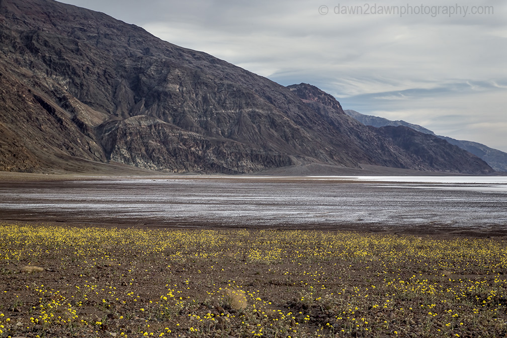 Wildflowers dominate the landscape at Badwater Basin at Death Valley National Park, California