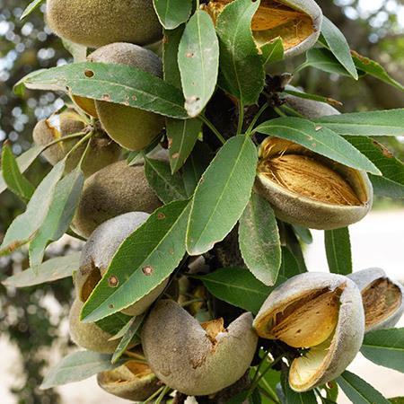 Prima-Almond-Tree-450w