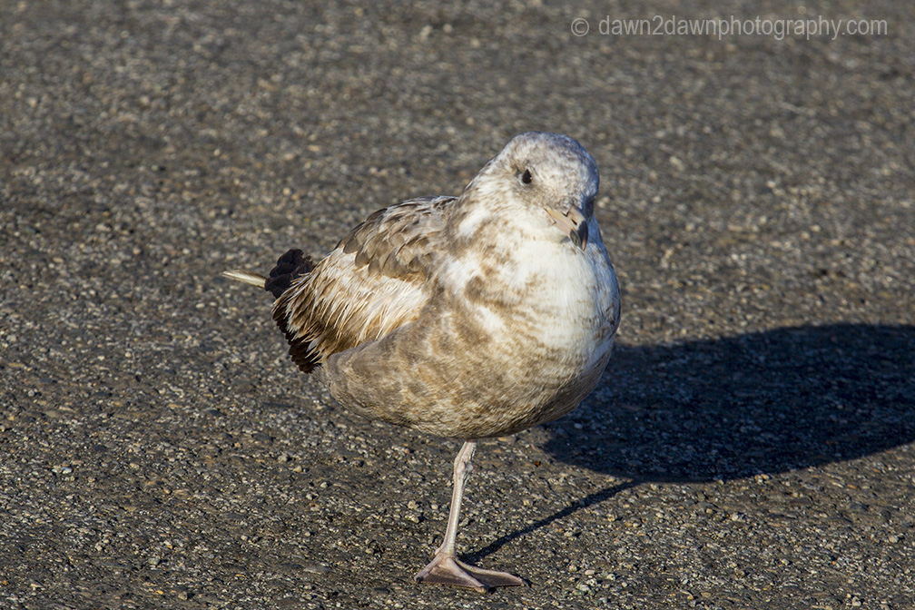 A seagull stands on one leg along the California's Pacific Ocean Coastline near San Simeon