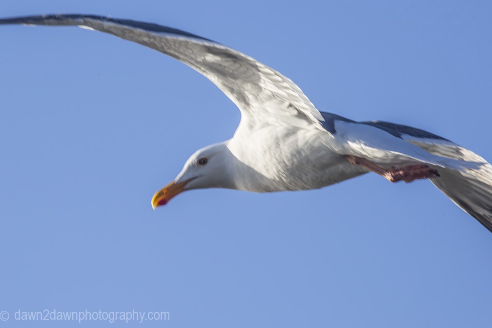 A seagull flies along the California's Pacific Ocean Coastline near San Simeon