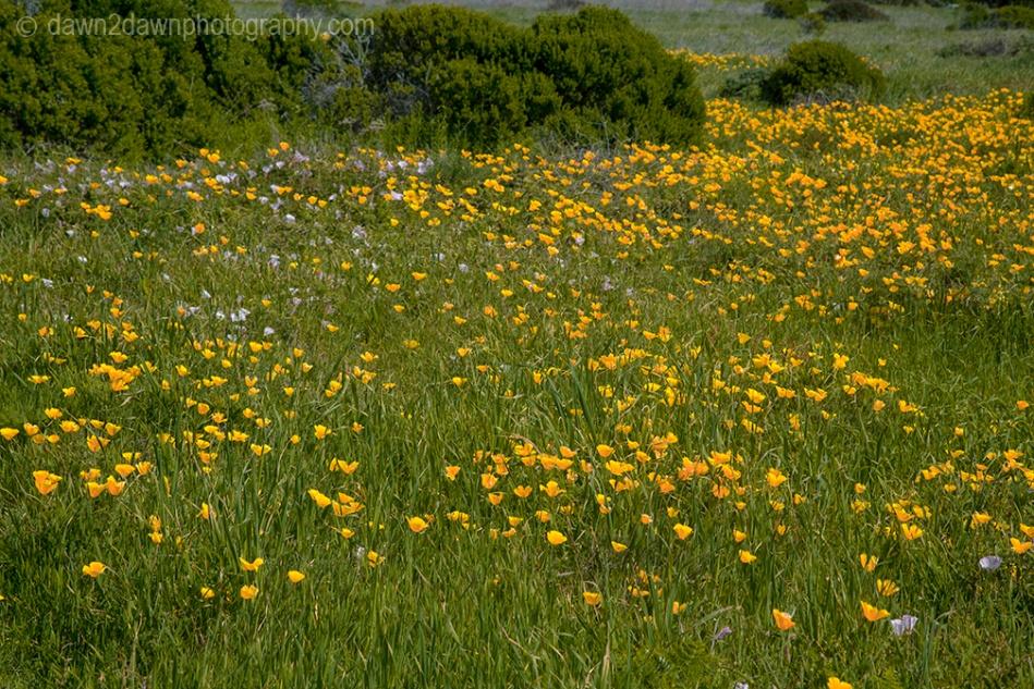 Flowers grow along California's Pacific Ocean Coast at Sand Dollar Beach.