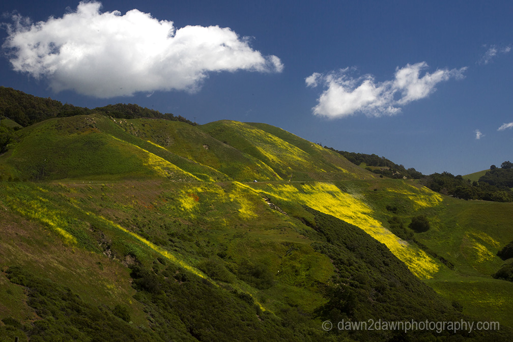 Mustard grass is in full bloom along Highway 46 at Coastal California