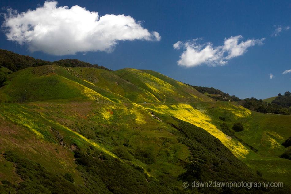 Mustard grass is in full bloom along Highway 46 at Coastal California