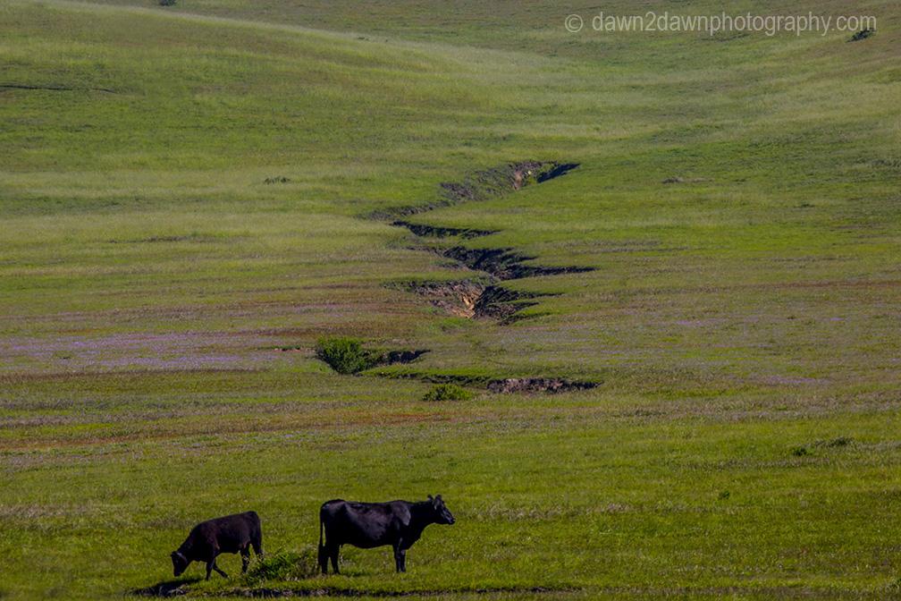 Cattle graze in a pasture along California's Pacific Ocean Coast near San Simeon.