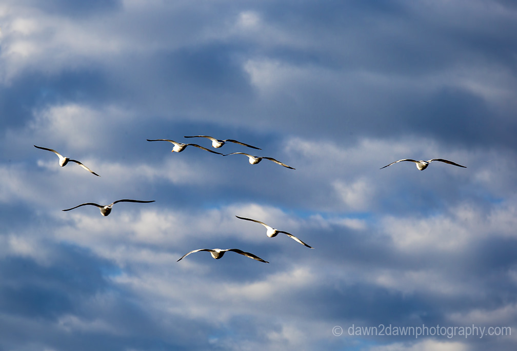 Seagulls fly along California's Pacific Ocean Coastline near San Simeon