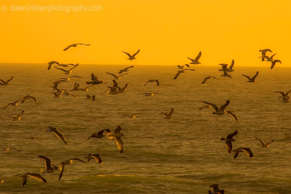 Cal Coast Seagulls_9633