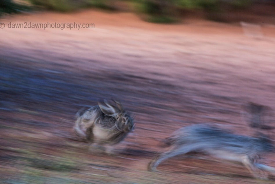 Coyote Buttes Rabbits_0645