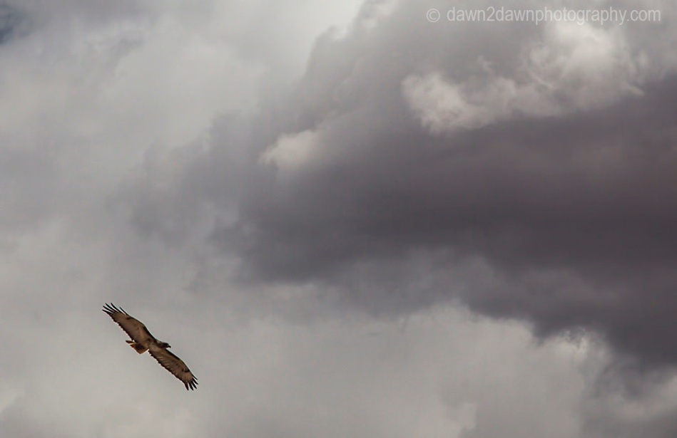 A Red-Tailed Hawk flies into stormy clouds at the desert envirornment of Northern Arizona