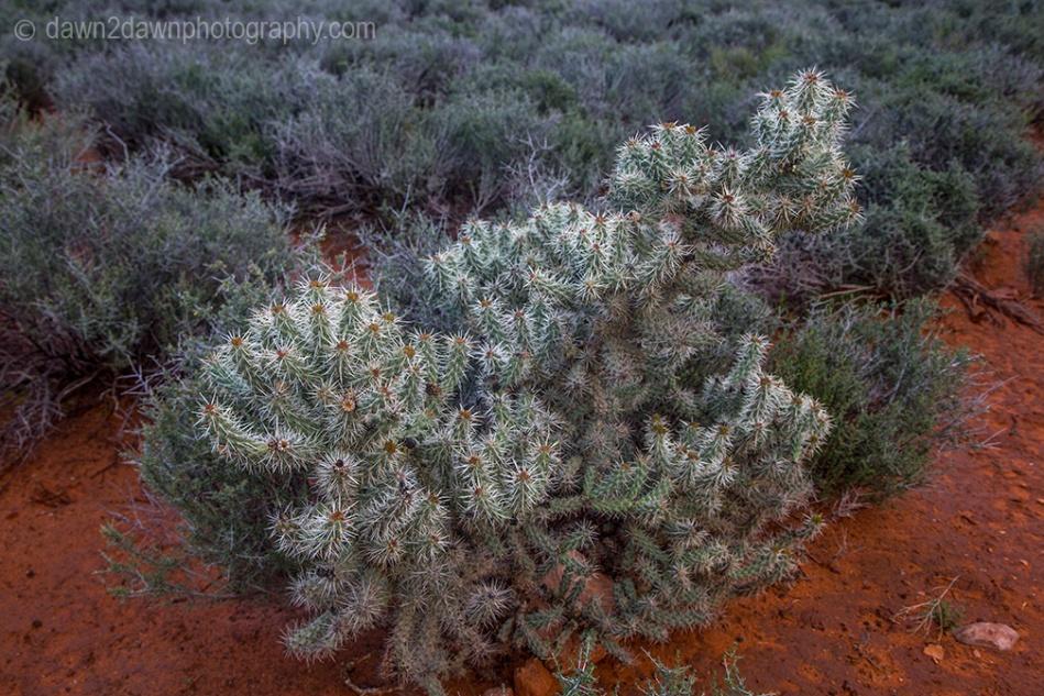 Cholla Cactus at Zion National Park, Utah