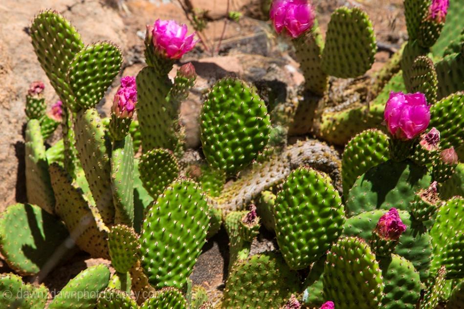 Zion Prickly Pear_0711