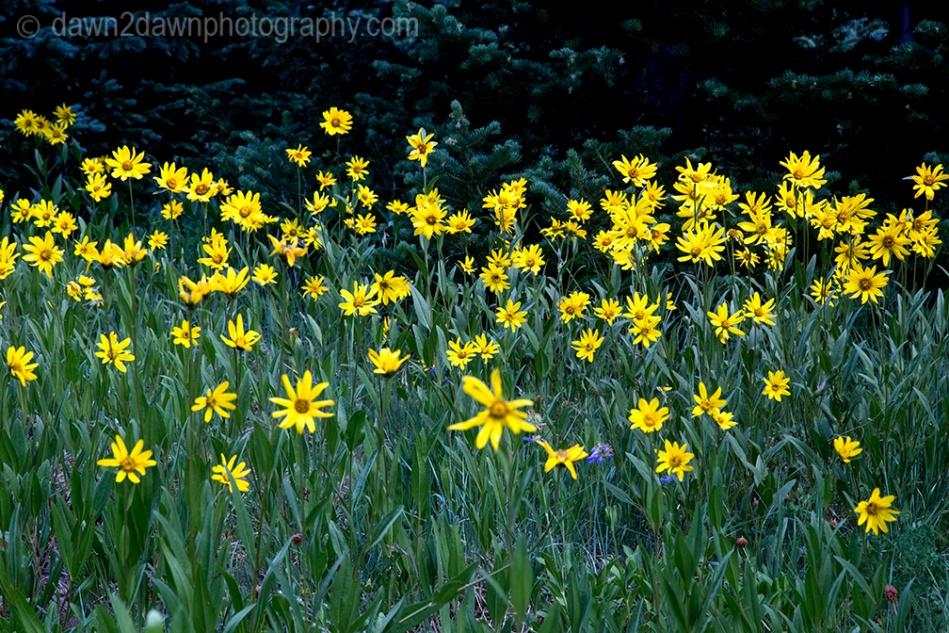 Little sunflowers bloom at Cedar Breaks National Monument in Southern Utah