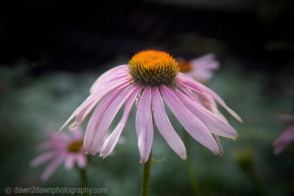 The purple coneflower produces bright colors while blooming in the hot desert sun.