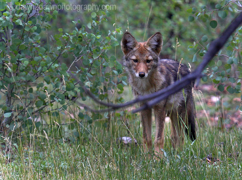 A coyote appears at the Kaibab National Forest, Arizona