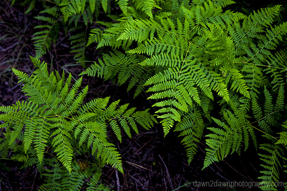 Ferns thrive in the deep forests of Kaibab National Forest near the north rim of The Grand Canyon Arizona