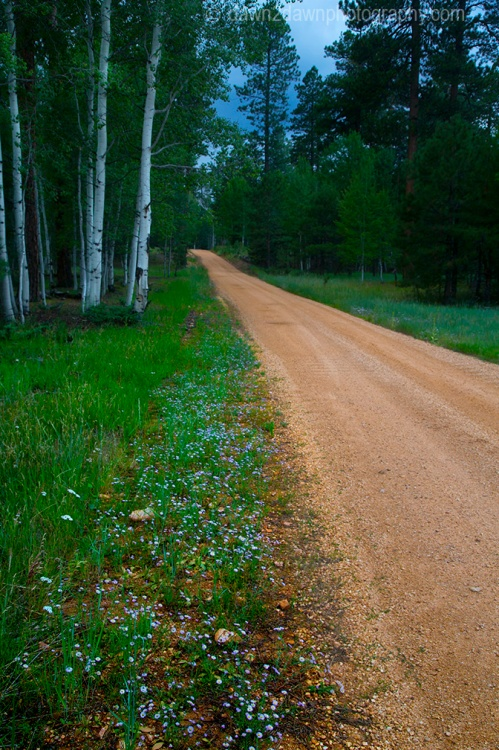 Wildflowers thrive along a road in the deep forests of Kaibab National Forest near the north rim of The Grand Canyon Arizona
