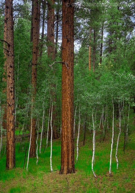 Ponderos Pines and Aspens thrive at The Kaibab National Forest near the north rim of The Grand Canyon, Arizona