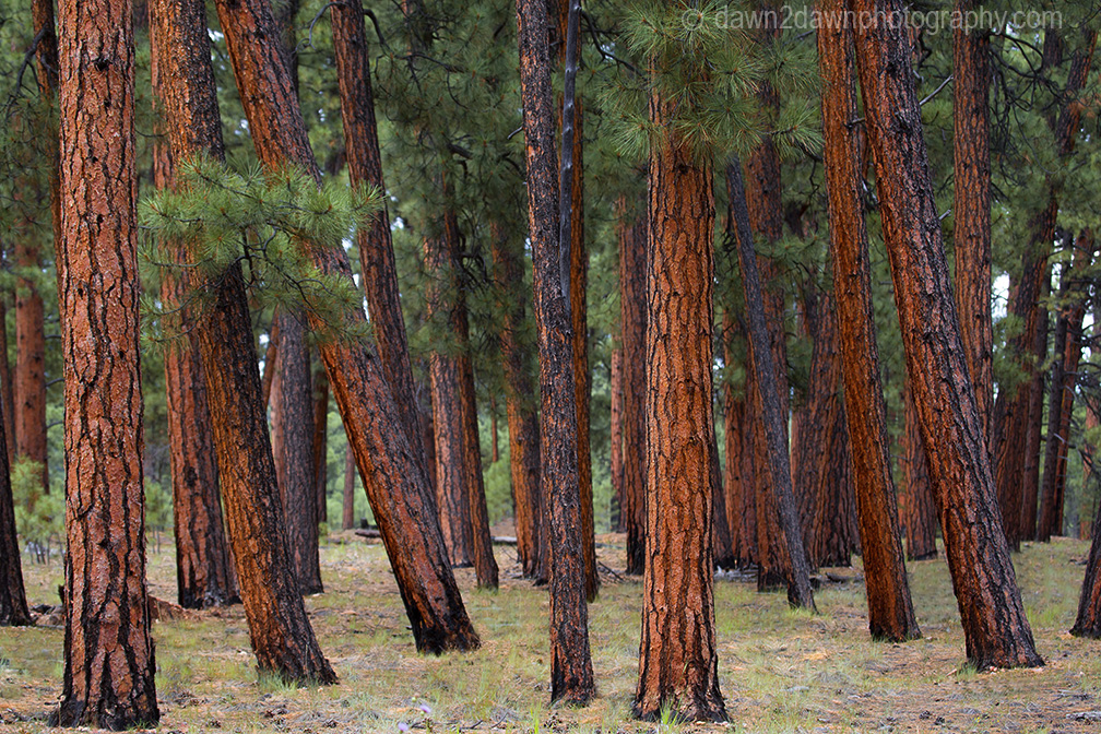 Ponderos Pines thrive at The Kaibab National Forest near the north rim of The Grand Canyon, Arizona