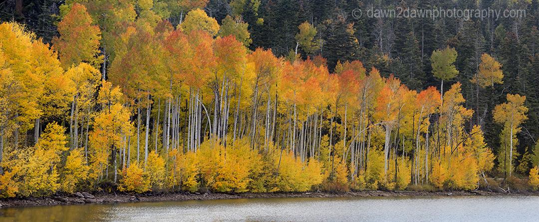 Fall colors from Aspen trees at Kolob Reservoir near Zion National Park, Utah