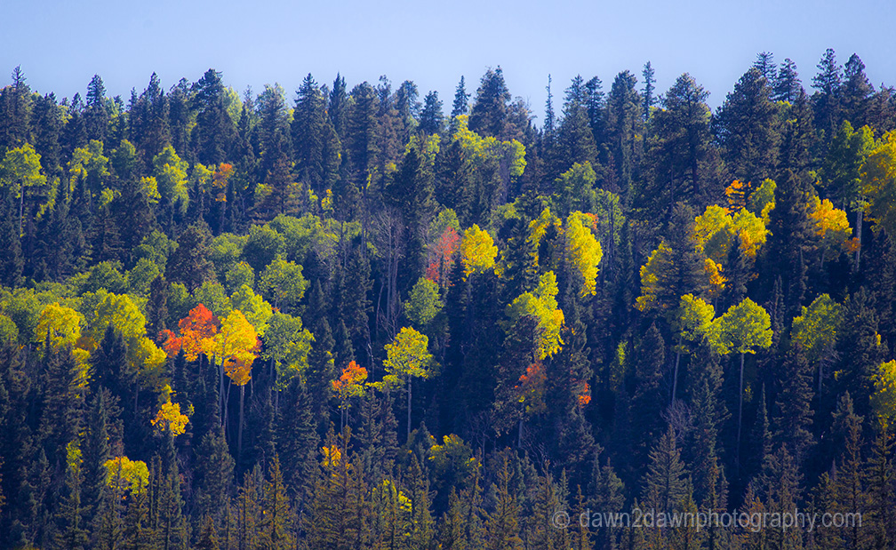 Fall colors have arrived via Aspen Trees at Kaibab National Forest, Arizona