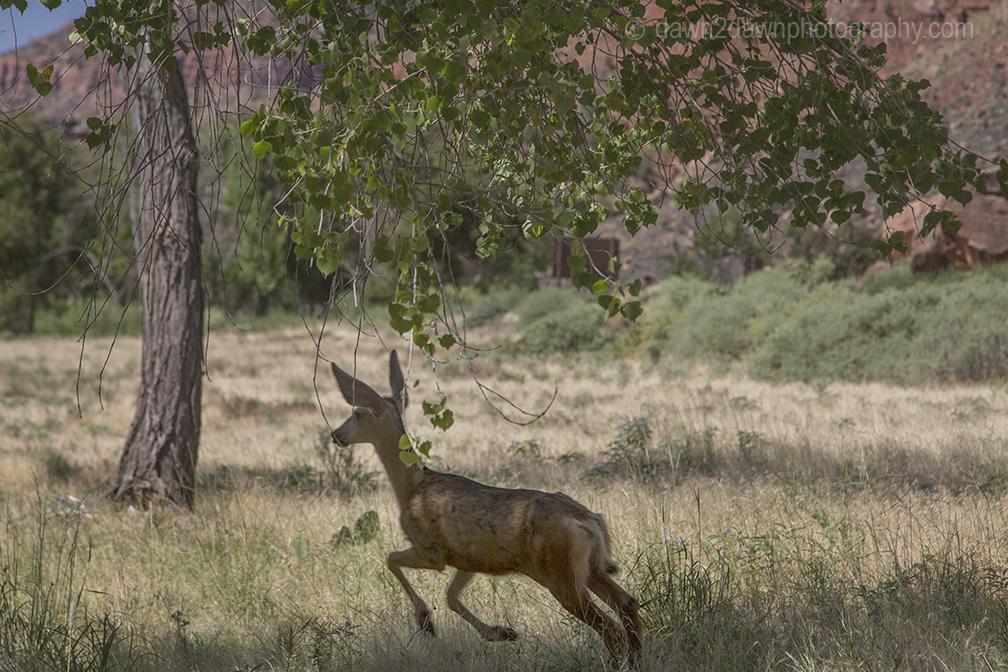 zion-deer_3668