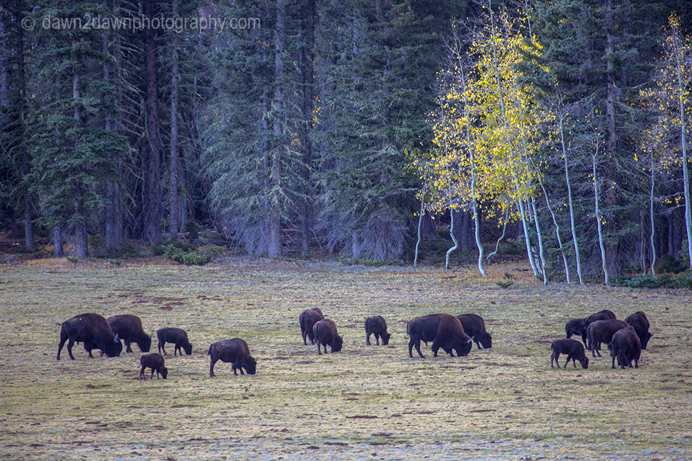 Bison graze in a meadow during autumn at Grand Canyon National Park's North Rim, Arizona