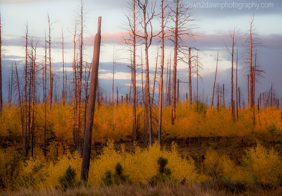 Fall coors appear in a dead tree forest at Kaibab National Forest, Arizona