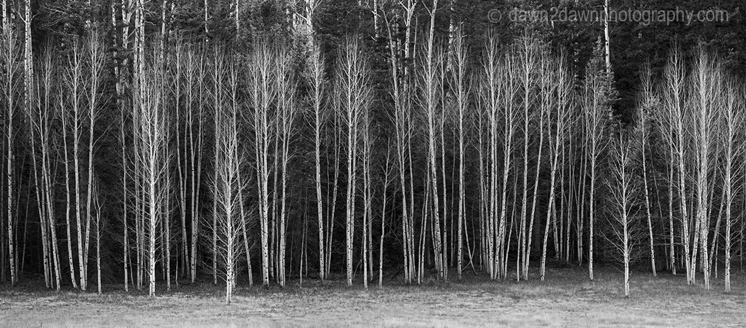 Leaveless Aspen Trees at Kaibab National Forest, Arizona