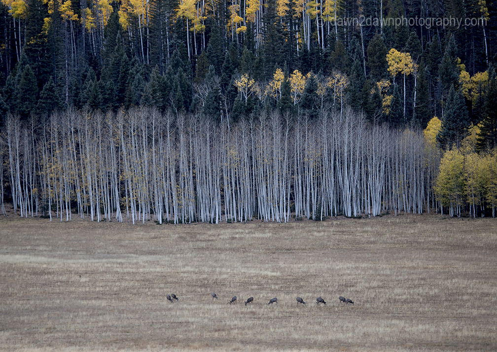 Deer graze in a meadow during autumn at Grand Canyon National Park's North Rim, Arizona