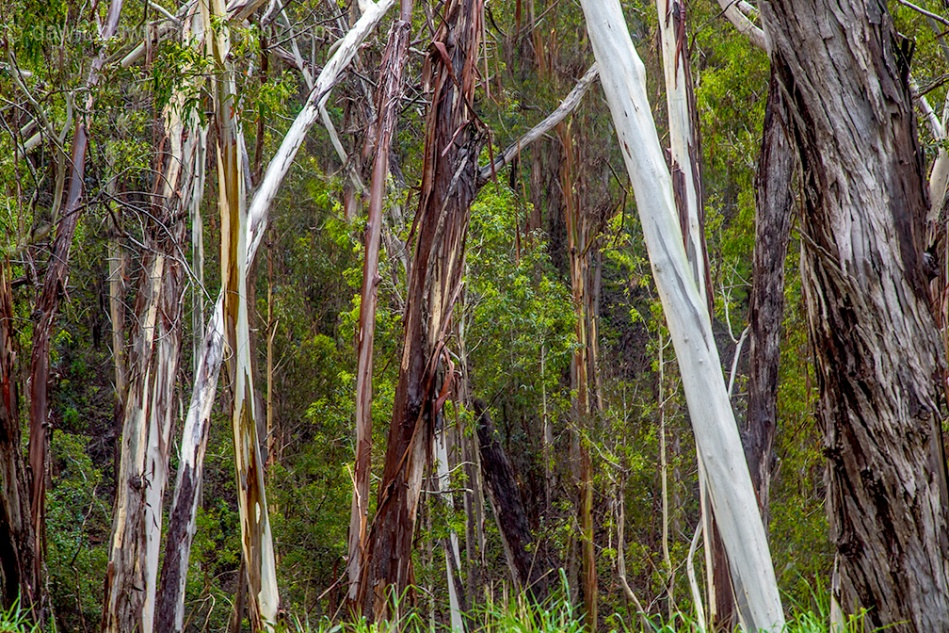 A stand of eucalyptus trees along California's Pacific Coast at Montana De Oro State Park