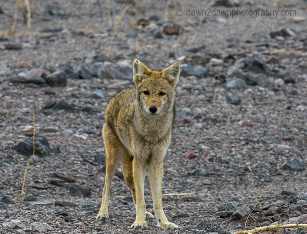 A lone coyote at Death Valley's Badwater Basin