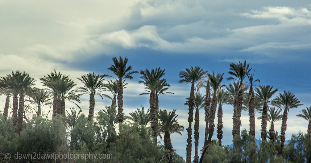 Palm trees survive in the Furnace Creek area of Death Valley National Park, California