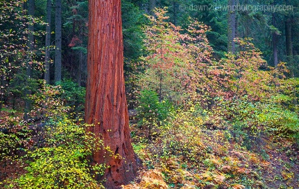 FALL FOILAGE SURROUNDS A GIANT SEQUOIA TREE DURING AUTUMN ALONG THE HIGH SIERRA TRAIL AT SEQUOIA NATIONAL PARK, CALIFORNIA